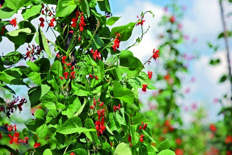 Käferbohnenpflanze Estyria Steirerkraft Kernothek