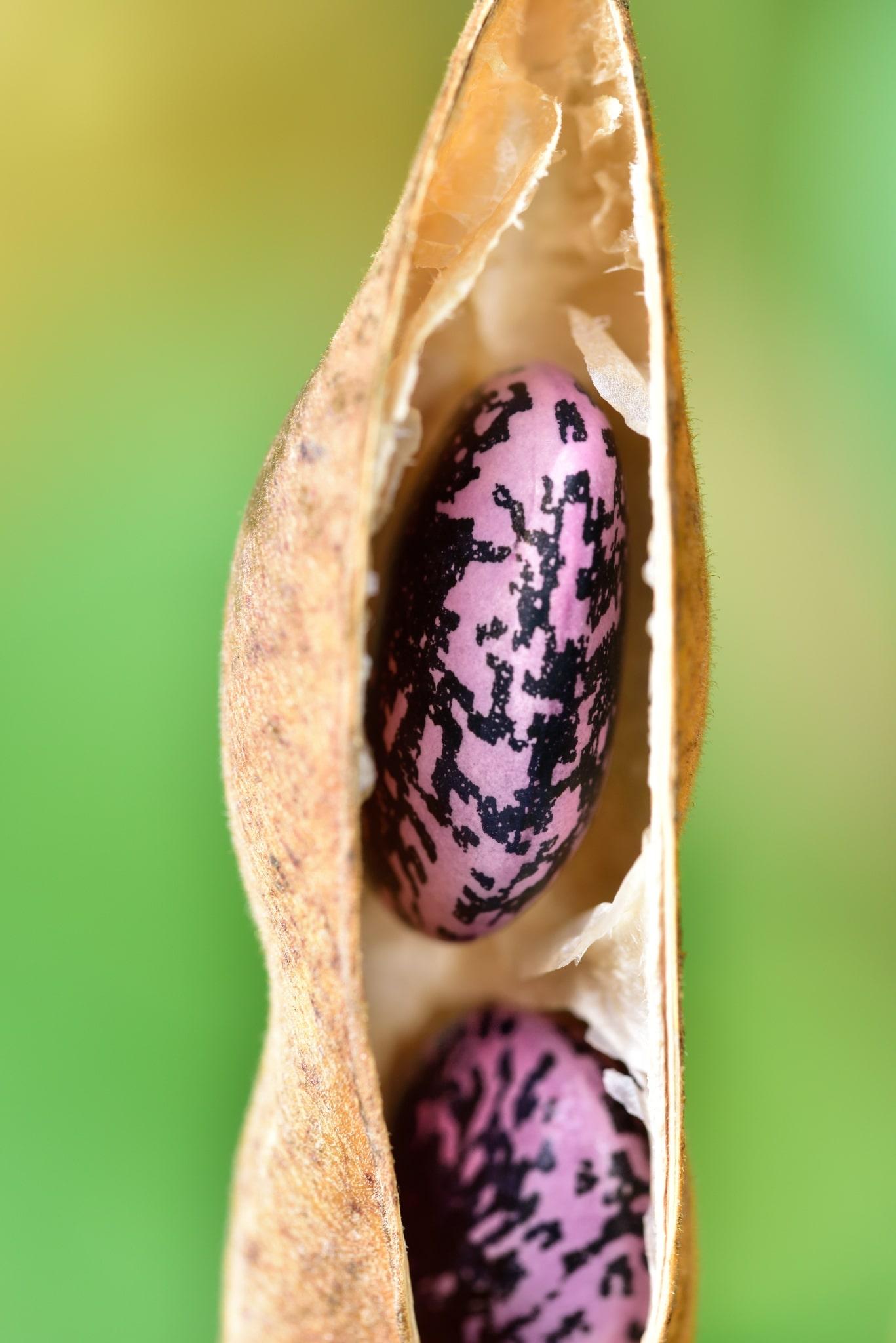 Käferbohne in der Hülle
