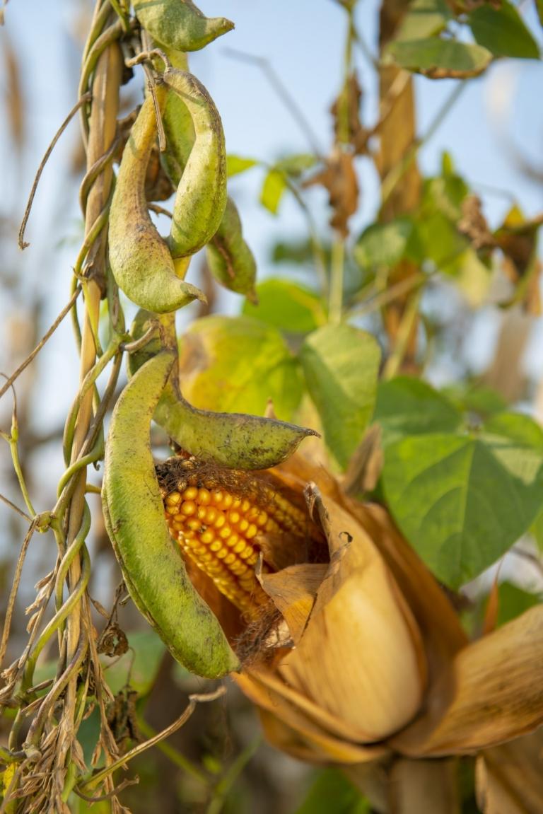 Käferbohne und Mais