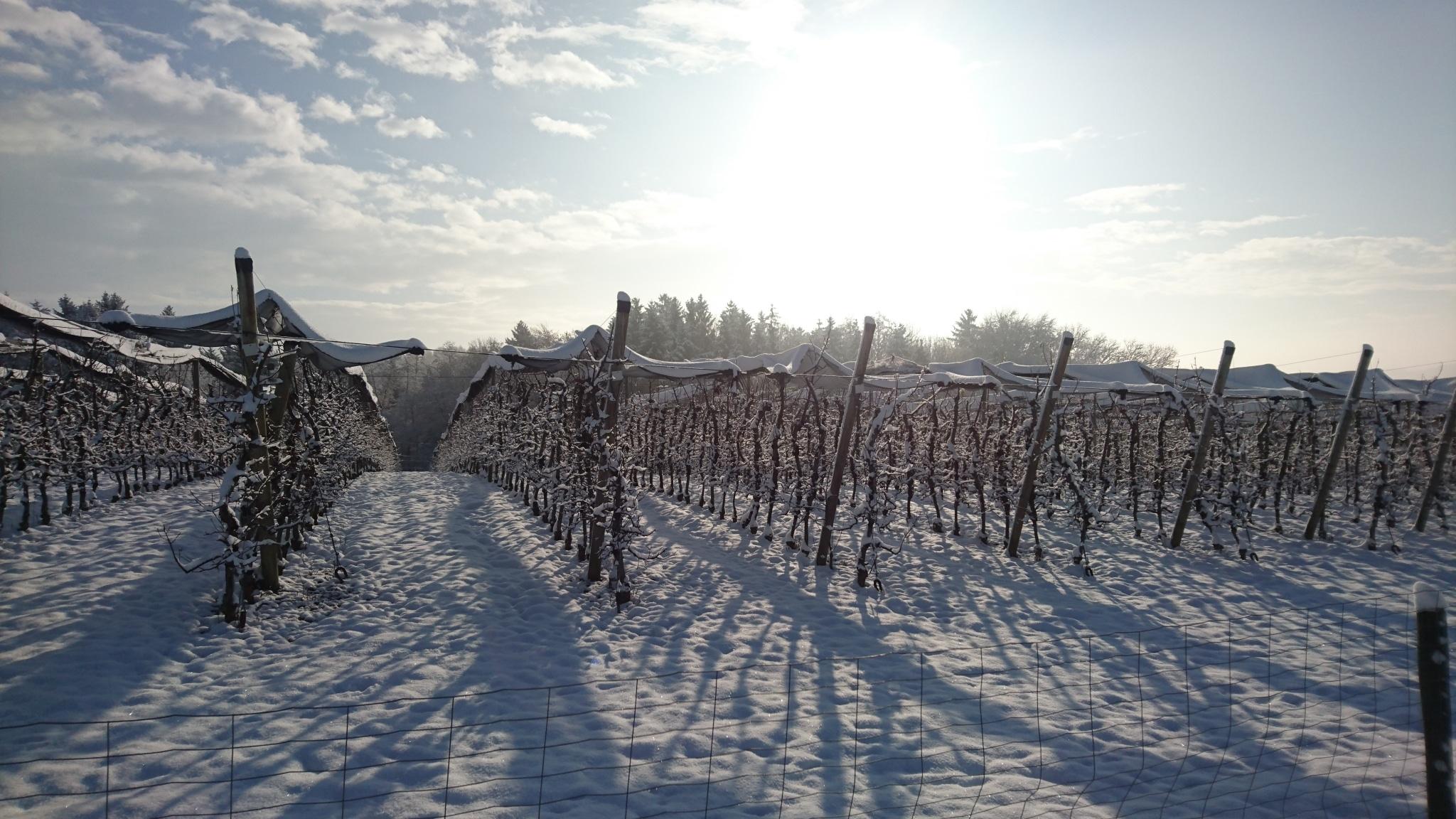 Winter in St. Ruprecht - verschneite Apfelgärten
