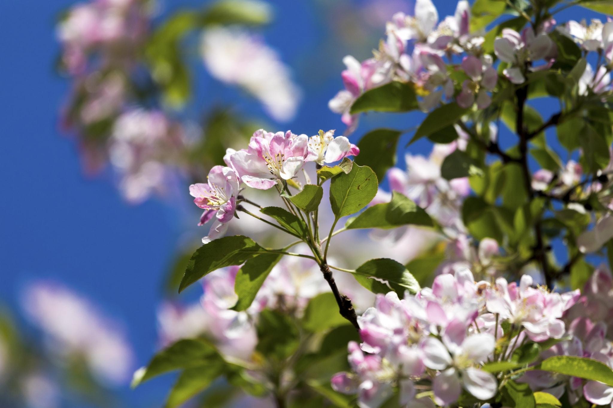 Apfelblüte Frühling Steiermark Urlaub