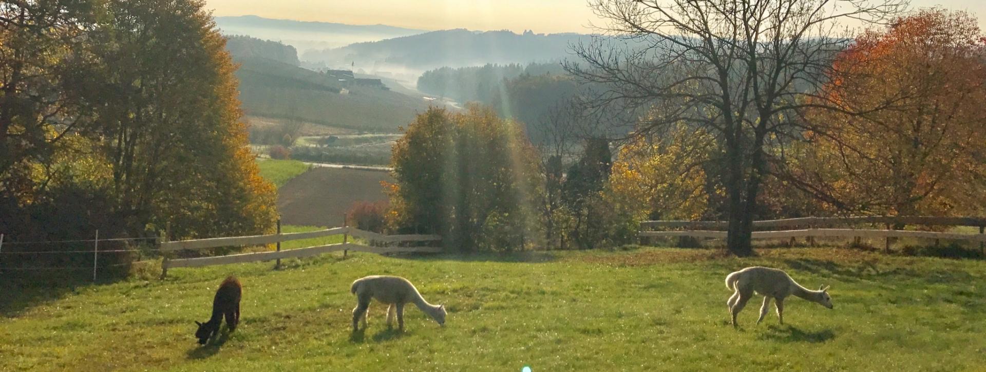 Hohenkogl-Alpakas