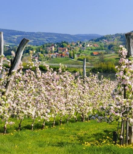 Apfelblüte an der Steirischen Apfelstraße