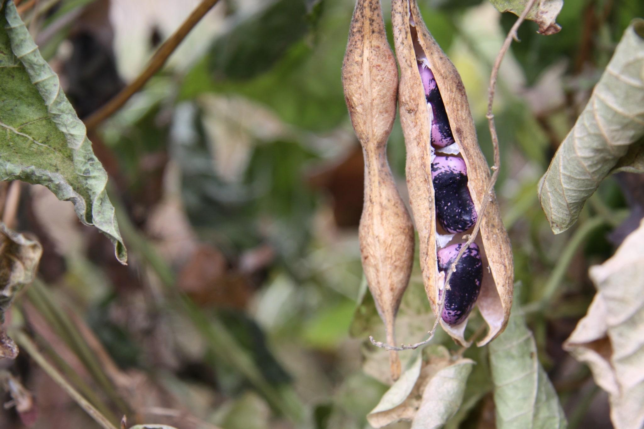 Käferbohne in der Hülse