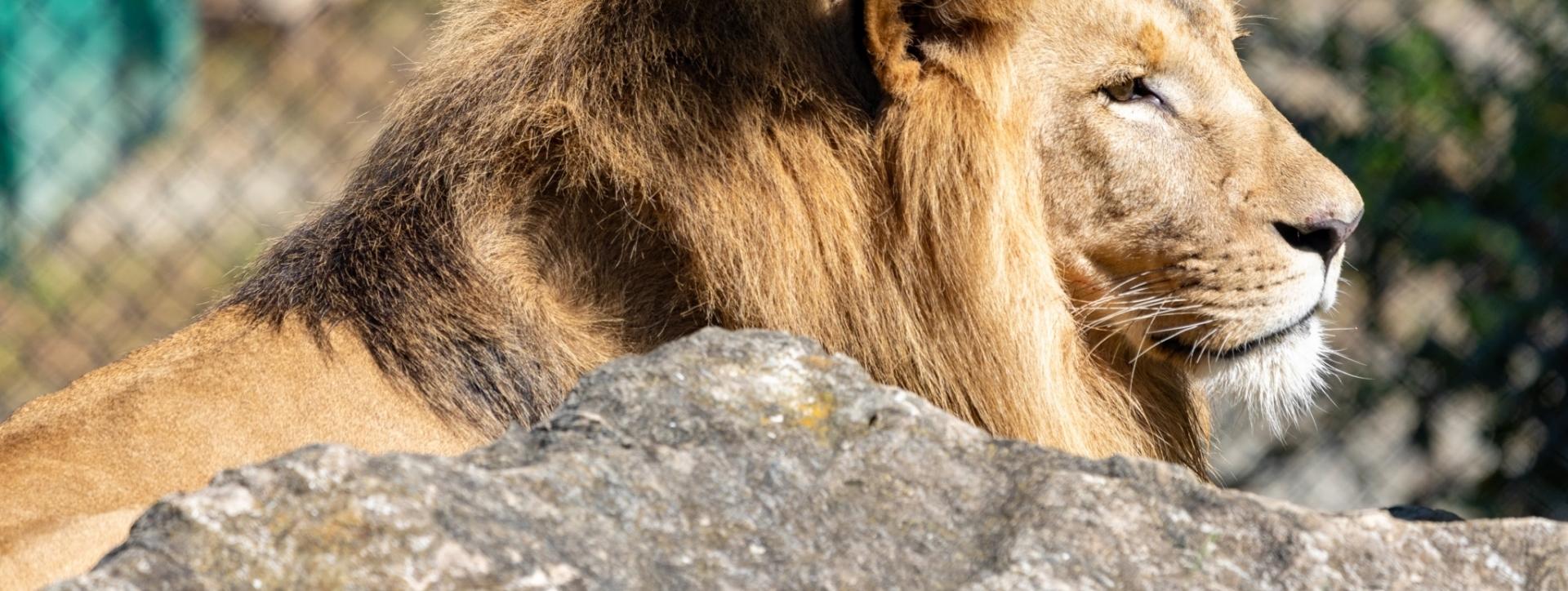 Tierwelt Herberstein Löwe