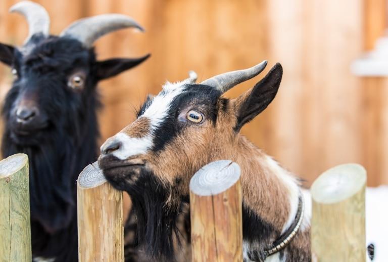 Sie sehen zwei Ziegen an einem Zaun. JUFA Hotels bietet Ihnen den Ort für erlebnisreichen Natururlaub für die ganze Familie.
